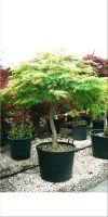 Acer palmatum Dissectum Garnet - asiatischer Ahorn