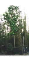 Aesculus hippocastanum Baumannii - Rosskastanie