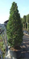 Carpinus betulus Fastigiata Monument - Säulen-Hainbuche