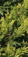 Cupressocyparis leylandii - Leyland-Zypresse, Bastardzypresse