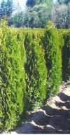 Thuja occidentalis Brabant - Grosser Lebensbaum
