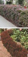 Berberis thunbergii Atropurpurea - Berberitze, Heckenpflanze