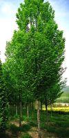 Carpinus betulus Fastigiata - Säulen-Hainbuche