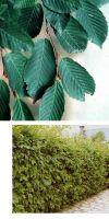 Cornus alba - Siberian Dogwood