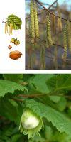 Corylus avellana - Haselnuss, Heckenpflanze