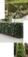 Fagus sylvatica - Rotbuche, Heckenpflanze