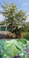 Crataegus monogyna - Eingriffliger Weissdorn, Heckenpflanze