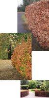 Fagus sylvatica Purpurea - Blutbuche, Heckenpflanze