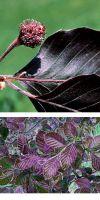Fagus sylvatica Atropurpunicea