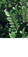 Ligustrum vulgare - Gemeiner Liguster, Heckenpflanze