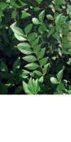 Ligustrum vulgare Atrovirens - Wintergrüner Liguster, Heckenpf