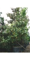 Magnolia grandiflora Galisoniensis