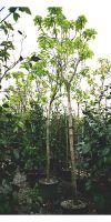 Catalpa bignonioides Aurea - Gelber Trompetenbaum