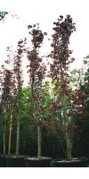 Prunus cerasifera Nigra - Kirschpflaume