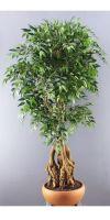 Französischer Ficus im Terrakottagefäß