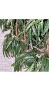 Artificial tree - Ficus longifolia