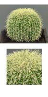 Künstlicher Kaktus, Echinocactus grusonii - Igelkaktus