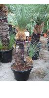 Xanthorrhoea glauca - Grasbaum, Black boy, Zimmerpflanze
