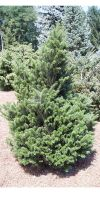 Abies koreana - Korean Fir
