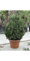 Euphorbia lactea - Euphorbie, Wolfsmilchgewächs