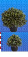 Laurus nobilis - Echter Lorbeerbaum Kugel