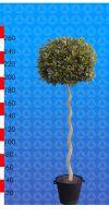 Laurus nobilis - Echter Lorbeerbaum Kugel auf Spiralstamm