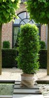 Laurus nobilis - Bay Laurel Column
