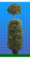 Laurus nobilis - Bay Laurel Column with ball