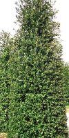 Quercus ilex - Holm Oak, Holly Oak