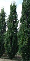 Quercus robur Fastigiata - Säuleneiche 10 Meter Gigant