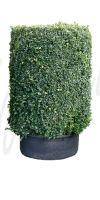 Buxus sempervirens Zylinder