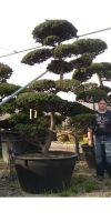 Taxus cuspidata bonsai