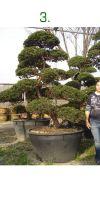 Taxus cuspidata Gartenbonsai - Japanische Eibe