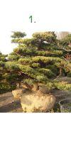 Pinus pentaphylla Bonsai