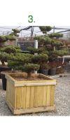 Pinus pentaphylla Bonsai - Japanische Mädchenkiefer