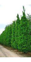 Quercus robur Fastigiata - Säuleneiche, Stammbusch