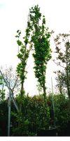 Quercus rubra - Amerikanische Rot-Eiche