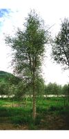 Quercus suber - Kork Eiche, solitär
