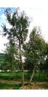 Quercus suber - Kork Eiche