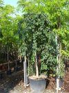 Ulmus montana fastigiata Pendula - Bergulme