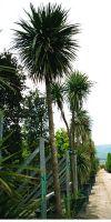Cordyline australis - Keulenlilie