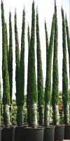Cupressus sempervirens Pyramidalis - Italienische Zypresse