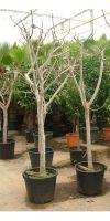 Ficus carica - Echte Feige