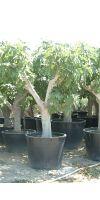Ficus carica - Echte Feige, Feigenbaum versch. Größen