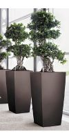 Ficus microcarpa  in a Planter
