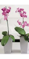 Phalaenopsis - Orchid in a Planter