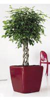 Ficus benjamina - Birkenfeige im Pflanzgefäß