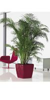 Chrysalidocarpus lutescens - Areca Palm  in a Planter