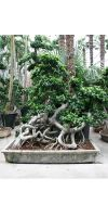 Landschaft - Ficus microcarpa, Ficus bonsai