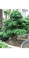 Ficus microcarpa - Bonsaificus